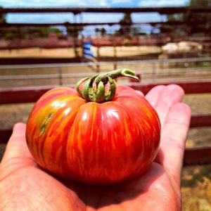 A giant heirloom tomato from Amys Farm